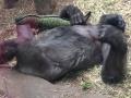 gorilla-napping